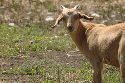goat kid DSC_1826