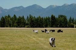 goat herd swan mountains DSC_1831