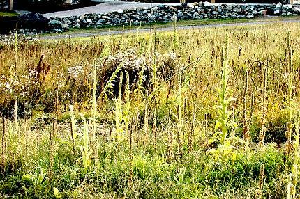 weeds DSC_0114.JPG