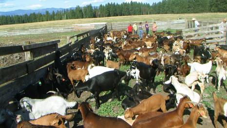 Montana Goat Company