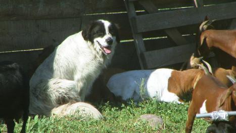 guard dog PIC_0014.JPG