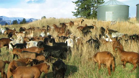 goats good light PIC_0010 72dpi.JPG