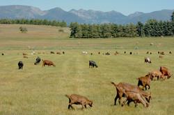 goat herd swan mountains DSC_1839