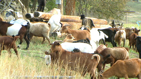 goats PIC_0012 72dpi.JPG