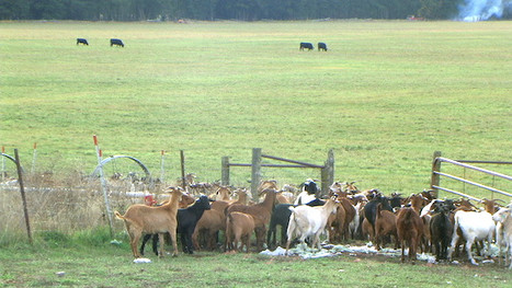 goats with cattle wide PIC_0008 72dpi.JP