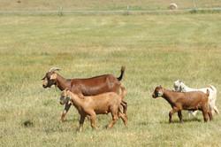 goat doe with triplets DSC_1832