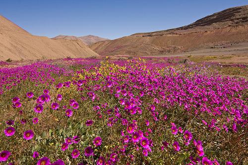 Le désert fleuri