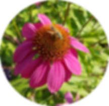Echinacea Biene rund.png