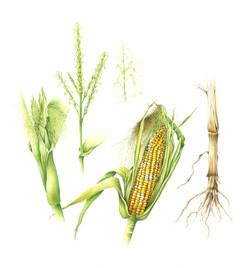 Corn Study-1
