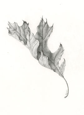 Black Oak Leaf- Graphite by Susannah Gra