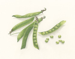 Peas - Colored Pencil by Betsy Barry