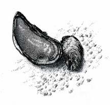 Drawing of shells