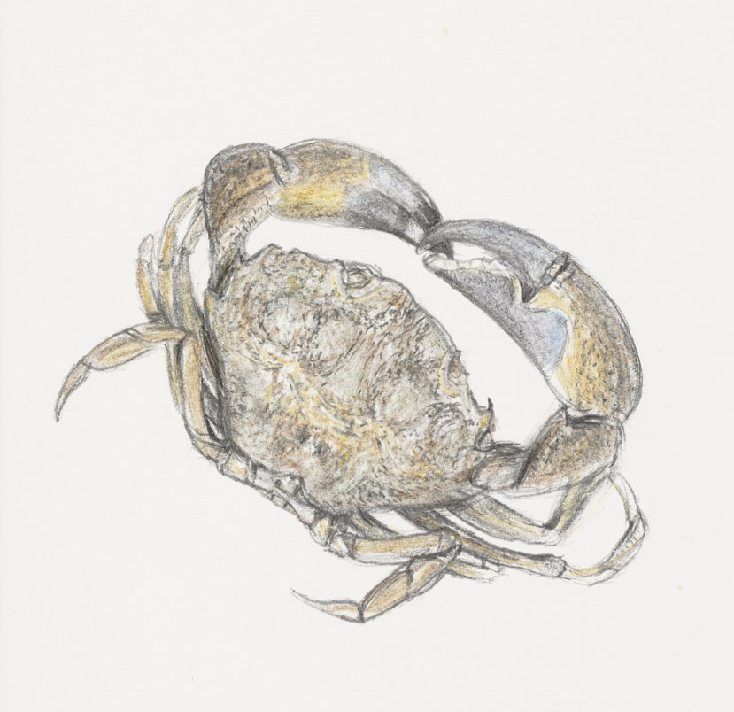 Drawing of crab