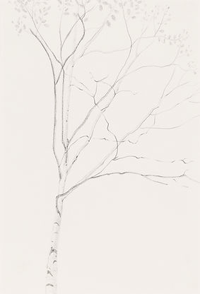 Birch Tree - Graphite by Linda Miller