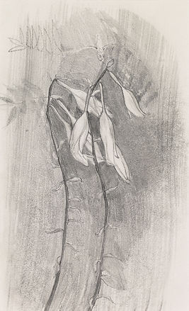 Canada Bell Flowers - Graphite by Linda