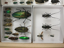 Beetle Specimens- Peabody Entomology
