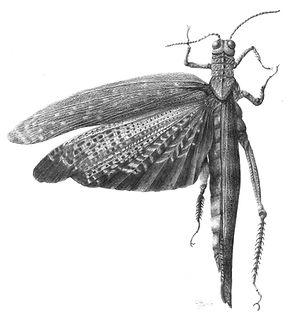 Tropicadris dux, Graphite. S.Graedel