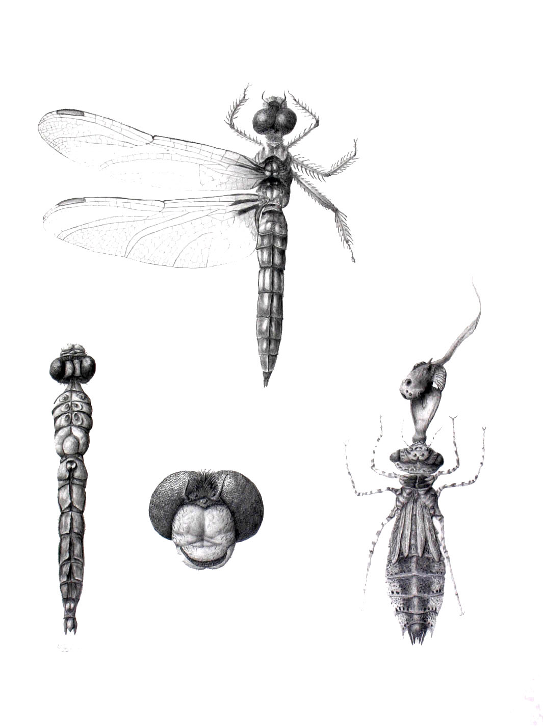 Scientific illustration of insects
