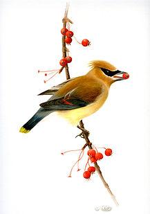Cedar Waxwing- by Dorie Petrochko
