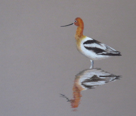 avocet cp small