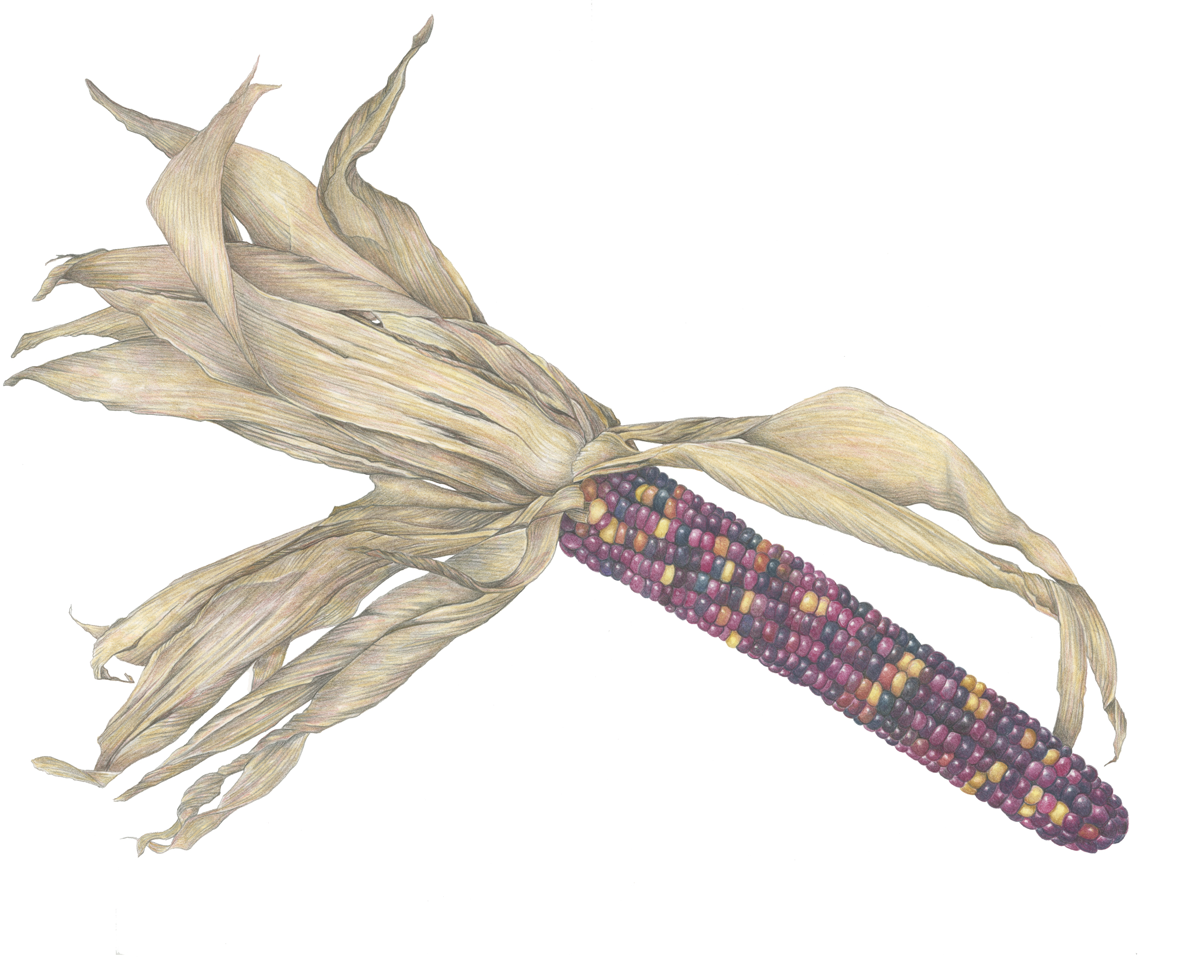 Purple Indian Corn in Colored Pencil by