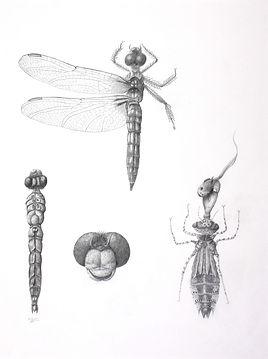Pachydiplax longipennis, graphite. S.Gra