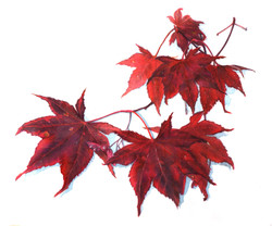 Japanese Maple Leaves,CG.jpg