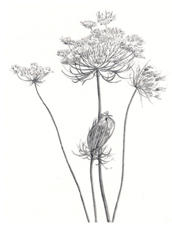 delicate flower drawing