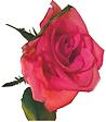 rose.tif