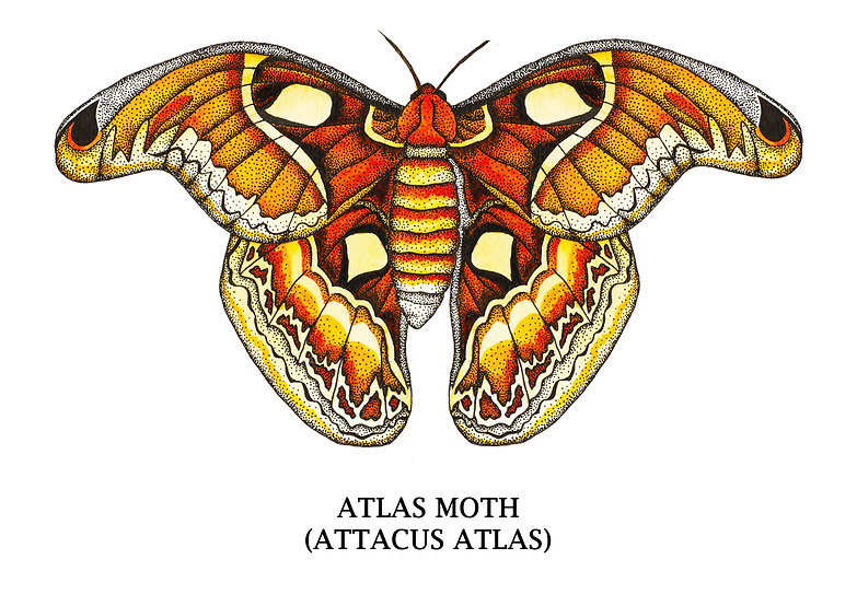 atlas moth.jpg