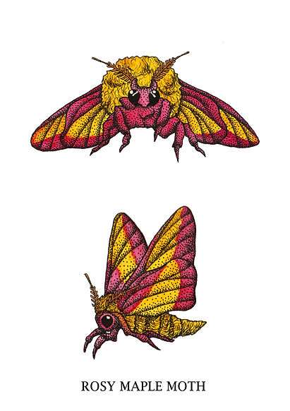 rosy maple moths2.jpg
