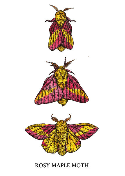 rosy maple moths.jpg