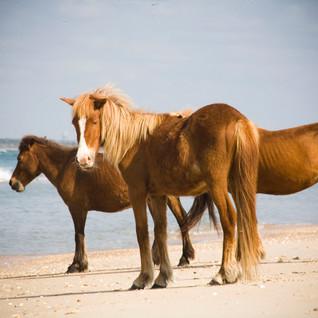 Shackleford_ponies_24.JPG