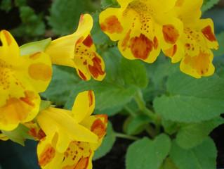 Fleur de Bach de ce jour: MIMULUS