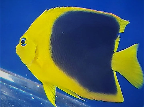 Rock Beauty Angelfish *Holacanthus tricolor*