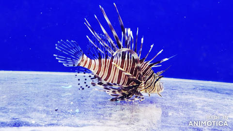 Lionfish *Pterois* ~ Red