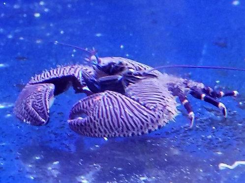 Porcelain Crab *Petrolisthes Galathinus*
