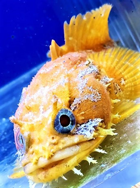 Orange Toadfish *Opsanus Beta*