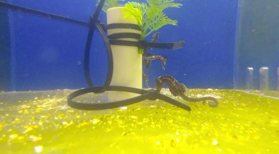Lined Seahorse *Hippocampus Erectus*