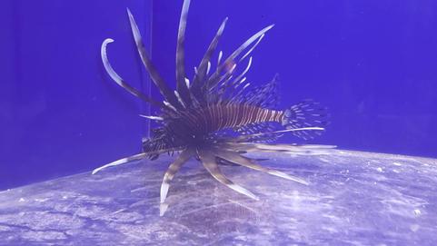 Lionfish *Pterois* ~ Black