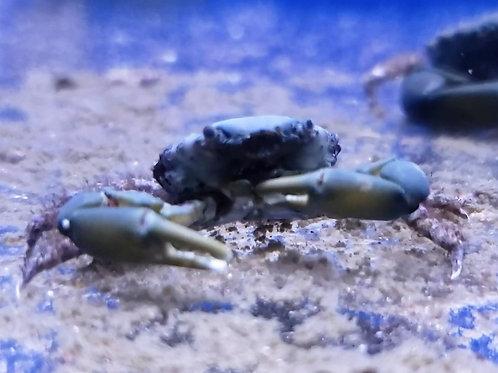 Emerald Crab *Mithraculus Sculptus*