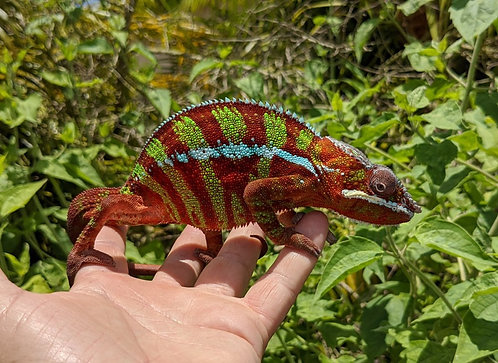 Male Ambilobe Panther Chameleon 16 Months old