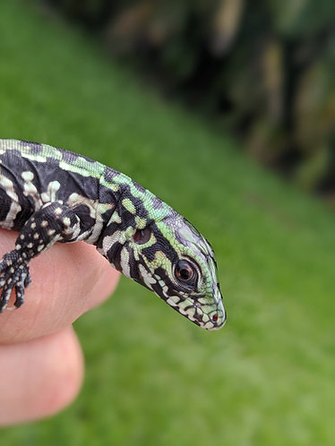 US CBB 2020 Black and White Tegu