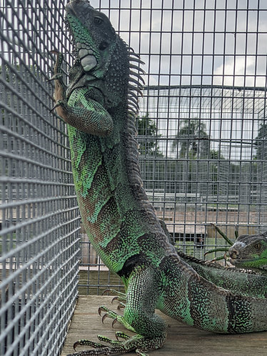 2017 50% Caatinga Iguana - Male