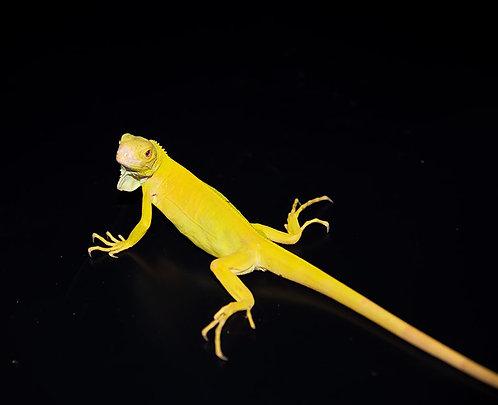 2020 Albino Iguana