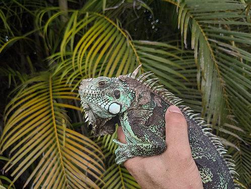 2016 Pure Caatinga Iguana - Male