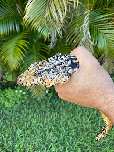2018 Yearling Blue Tegu - Male