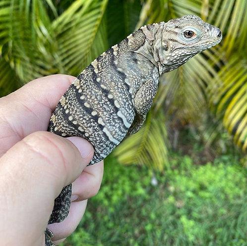 2020 Lewisi Hybrid Rock Iguana
