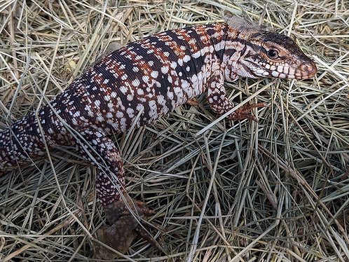2020 High White Red Tegu