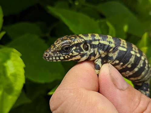 2020 Blue Tegu Baby Kinked or Regen Tail